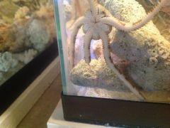 Serpent Star Arm Regeneration