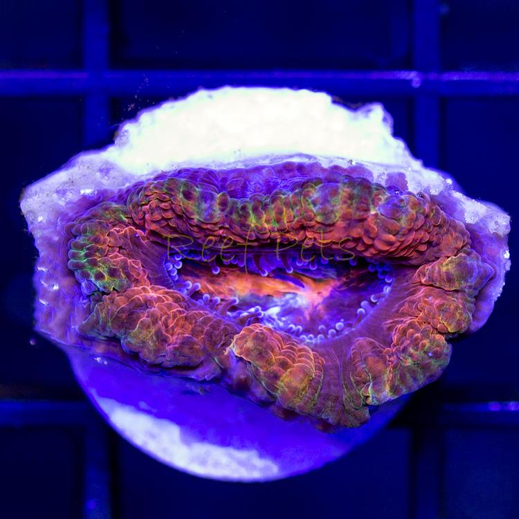 rainbow acan.JPG
