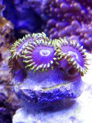 Purple Hornets