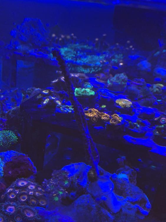 WYSIWYG Purple Knobby Sea Fan and Sparkleberry 1-31-21.JPG